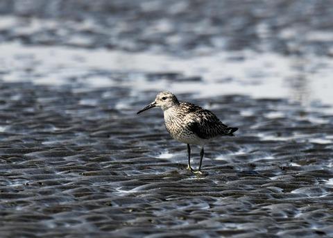 オバシギ若鳥1290