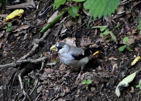 イカル幼鳥1218