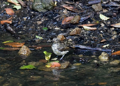 キビタキ幼鳥0778