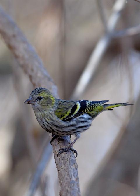 マヒワ若鳥3667