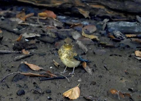 オオルリ♂幼鳥4277
