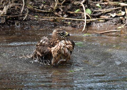 オオタカ幼鳥3963