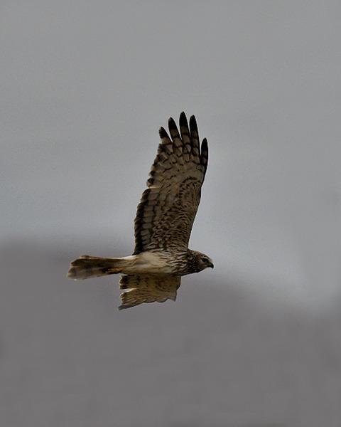 マダラチュウ若♀4550