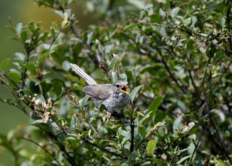 ウグイス幼鳥2472