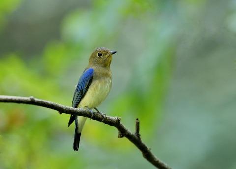 オオルリ♂若鳥1187