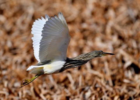 飛ぶ・アカガシラサギ9097