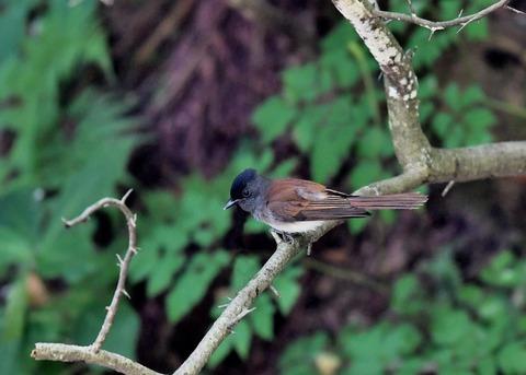 サンコウチョウ幼鳥9431