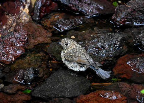 ルリビタキ幼鳥8327