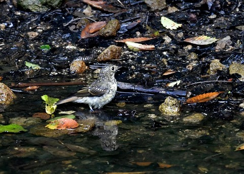キビタキ幼鳥0783