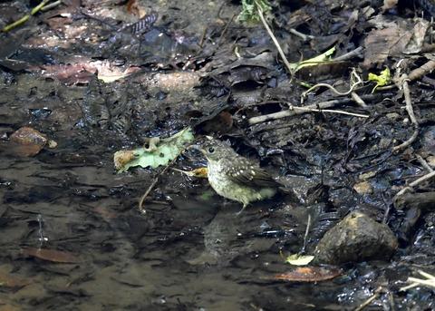 キビタキ幼鳥7515