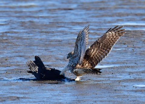 オオタカ若鳥0598