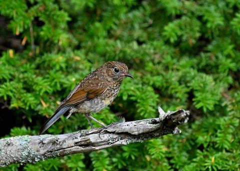 ルリビタキ幼鳥8370
