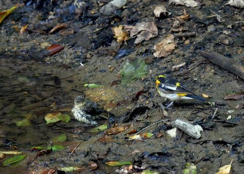 キビタキ♂と幼鳥3448