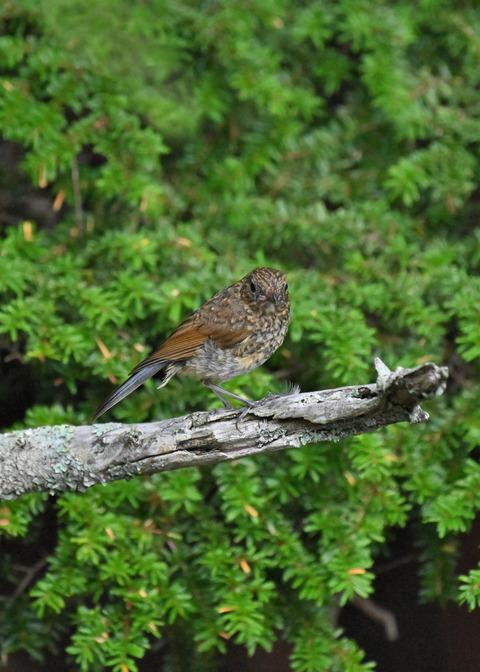 ルリビタキ幼鳥8359