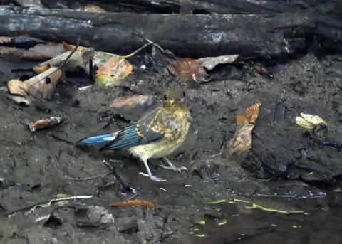 オオルリ♂幼鳥4290
