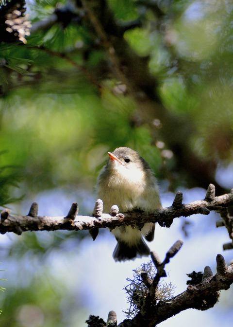 キクイタダキ・幼鳥1341-01