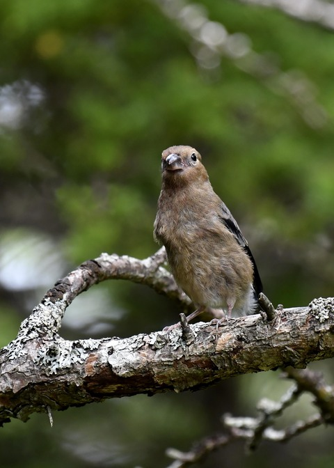 ウソ幼鳥8361