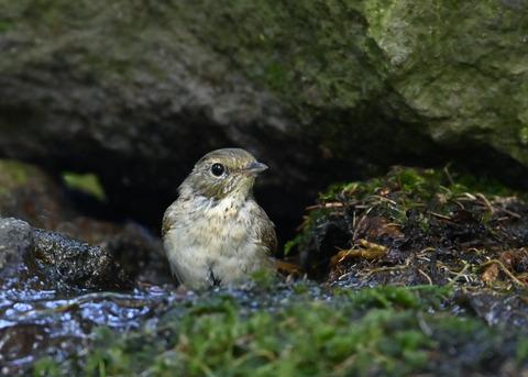 キビタキ♀幼鳥1041