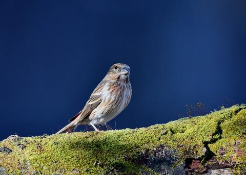 オオマシコ若鳥9471