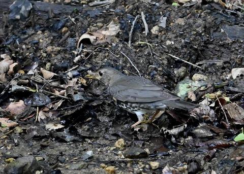 クロツグミ幼鳥5902