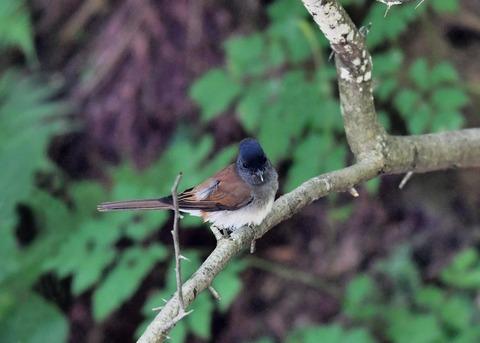 サンコウチョウ幼鳥9410
