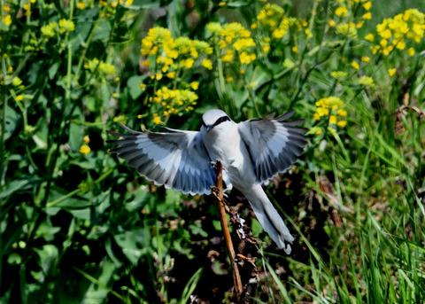 飛ぶ・オオカラモズ7377