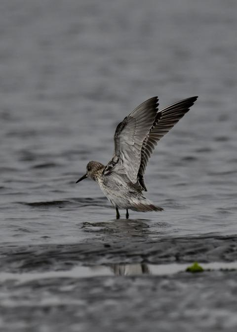 飛ぶ・オバシギ幼鳥4571