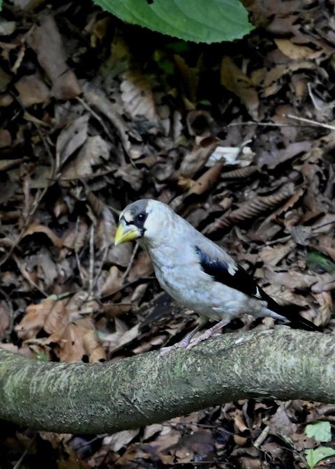 イカル幼鳥1183
