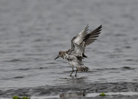 飛ぶ・オバシギ幼鳥4575