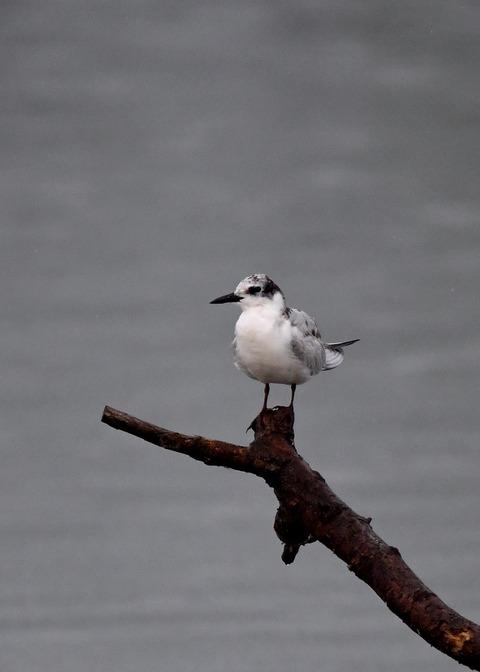 クロハラアジサシ幼鳥1881
