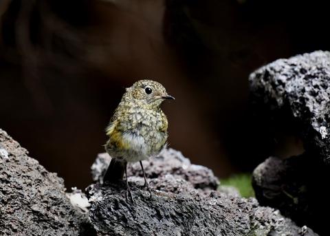 ルリビタキ幼鳥7702
