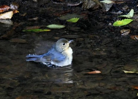 コルリ♂幼鳥7281