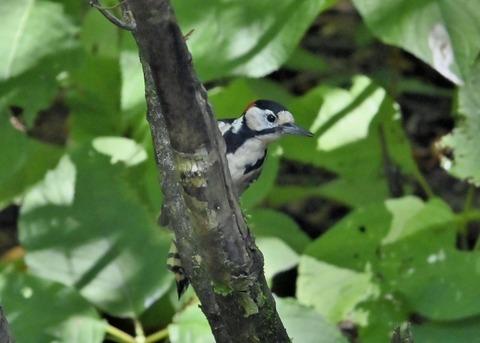 アカゲラ♂幼鳥3019