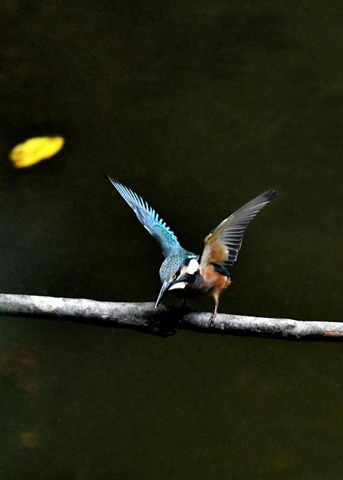 カワセミ若鳥4188