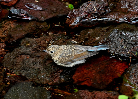 ルリビタキ幼鳥8226