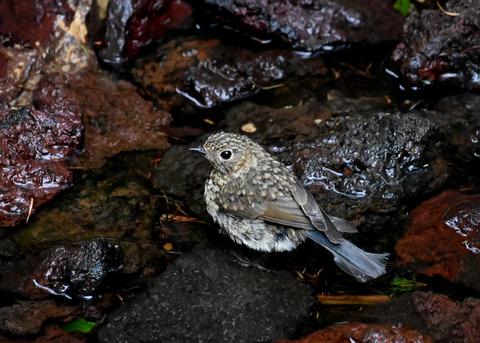 ルリビタキ幼鳥8325