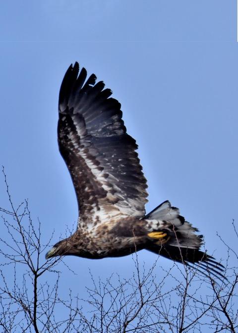 オジロワシ若鳥9287