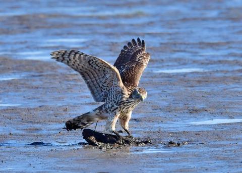 オオタカ若鳥0755