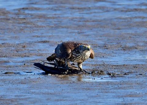 オオタカ若鳥0593