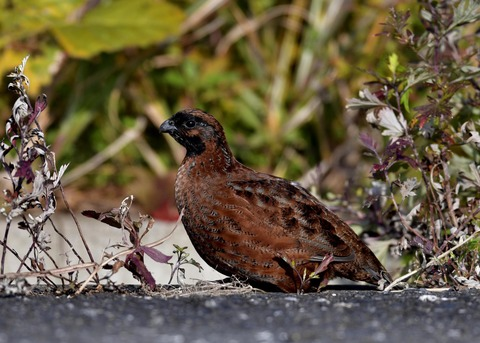 コリンウズラ若鳥1603