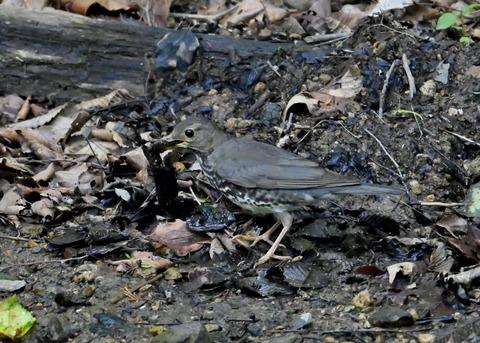 クロツグミ幼鳥5878