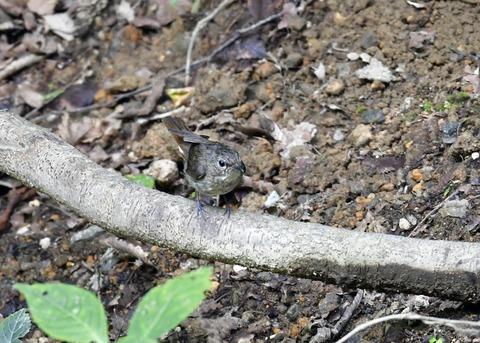 キビタキ幼鳥0272