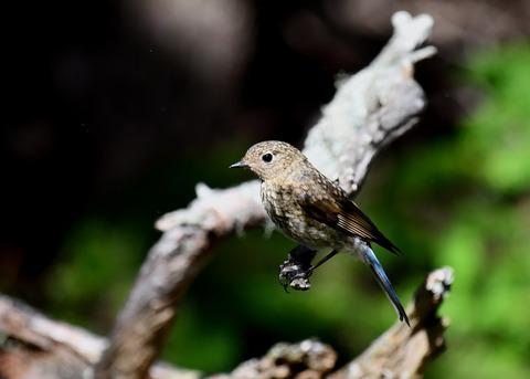 ルリビタキ幼鳥4022