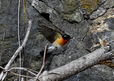 飛ぶ・ムギマキ♂0228-02