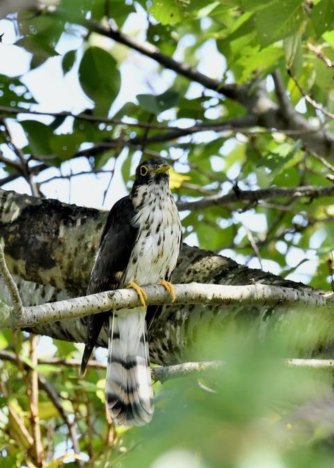 ジュウイチ幼鳥2921
