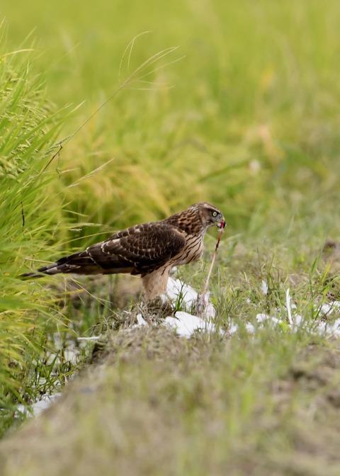 オオタカ若鳥3113