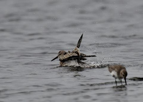水浴び・オバシギ幼鳥4567