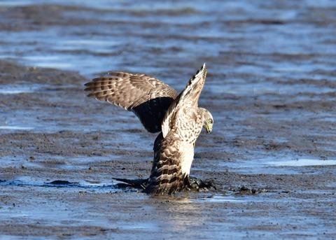 オオタカ若鳥0643