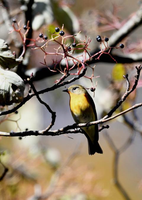 ムギマキ若鳥①♂4424