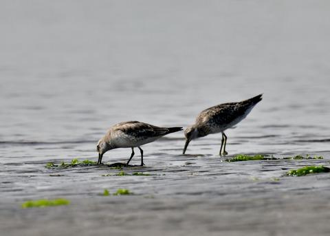 コオバシギ幼鳥4255